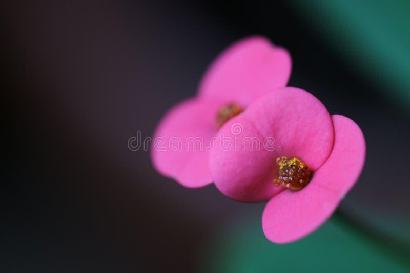 Korona cierni kwiaty zdjęcia royalty free