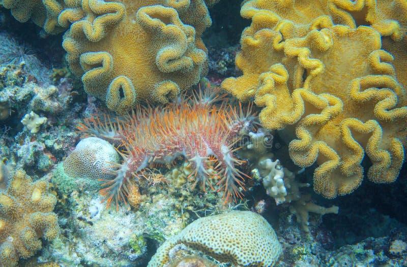 Korona ciernie w rafy koralowej podwodnej fotografii Rozgwiazda z igielnymi łasowanie koralami Koralowy zabójcy zagrożenie fotografia royalty free