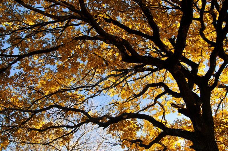 Korona dębowy drzewo z gałąź i kolorem żółtym opuszcza na nieba tle, obrazek od dna wierzchołek zdjęcia stock