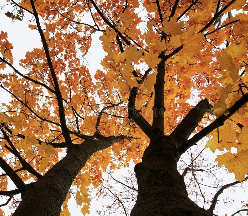 Korona klonowy drzewo w jesieni, jaskrawy Złoty ulistnienie na nieba bac zdjęcie stock