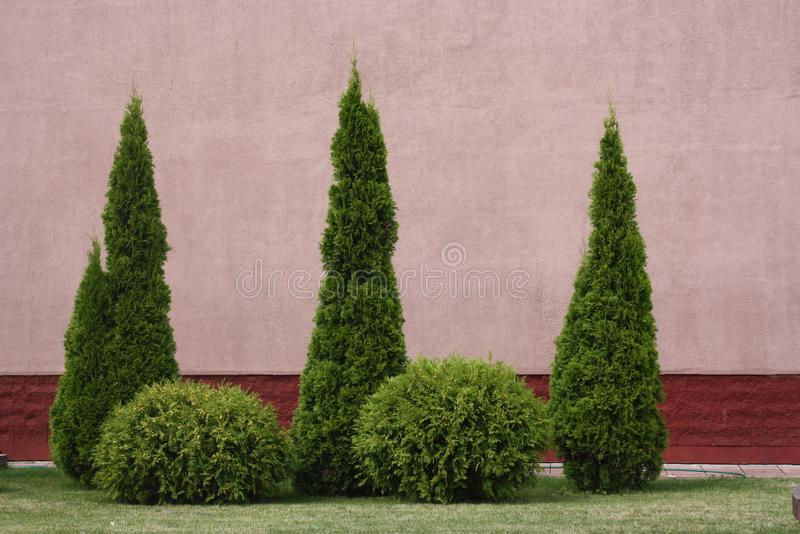 Korona królewiątko conifers obrazy stock