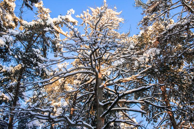 Korona ogromna wysuszona sosna przeciw błękitnemu zimy niebu obrazy stock