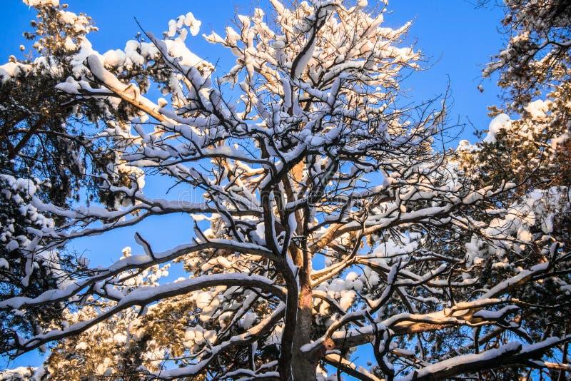 Korona ogromna wysuszona sosna przeciw błękitnemu zimy niebu obraz stock