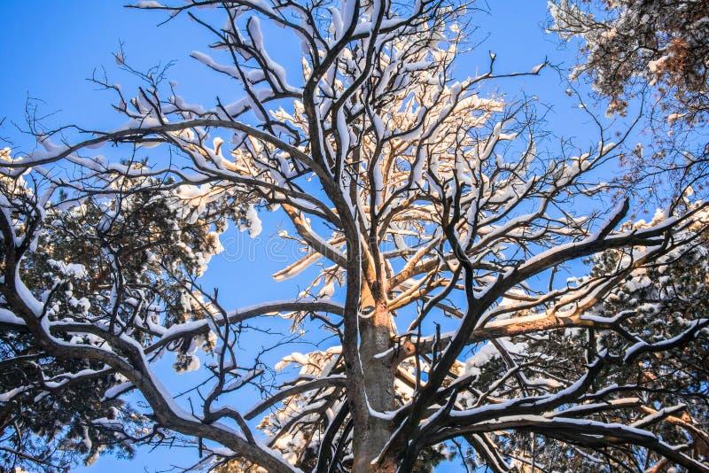 Korona ogromna wysuszona sosna przeciw błękitnemu zimy niebu zdjęcie royalty free