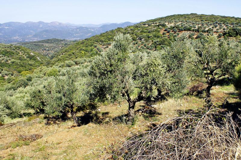 Olive grove with Koroneiki olives in Peloponnese, Greece. Koroneiki olives, olive grove in Kalamata, Peloponnese, Greece royalty free stock images