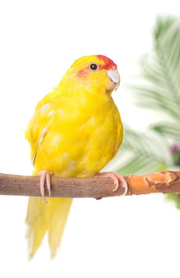 Koronujący parakeet w studiu obrazy royalty free