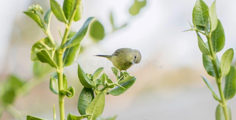 Koronujący Warbler Vermivora celata Umieszczający na liściach zdjęcia stock