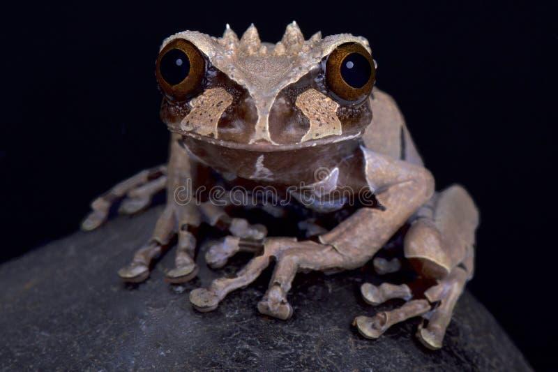 Korony głowiasta drzewna żaba, Anotheca spinosa zdjęcia stock