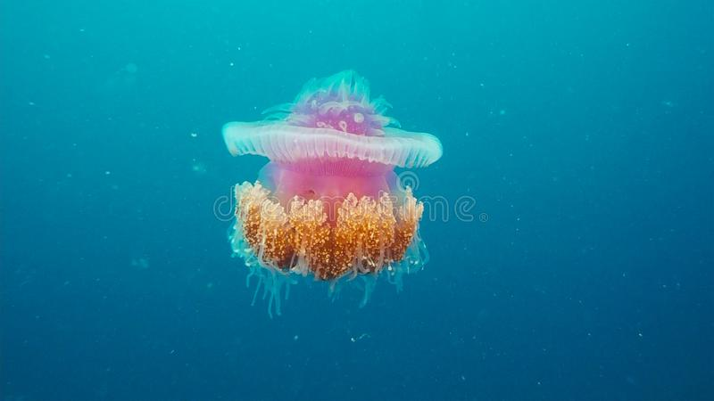 Korony galarety Cephea cephea rozkaz Coronatae dryfuje w w połowie wodzie pod oceanem obraz stock