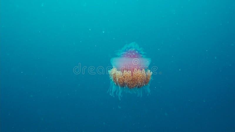 Korony galarety Cephea cephea rozkaz Coronatae dryfuje w w połowie wodzie pod oceanem zdjęcie stock