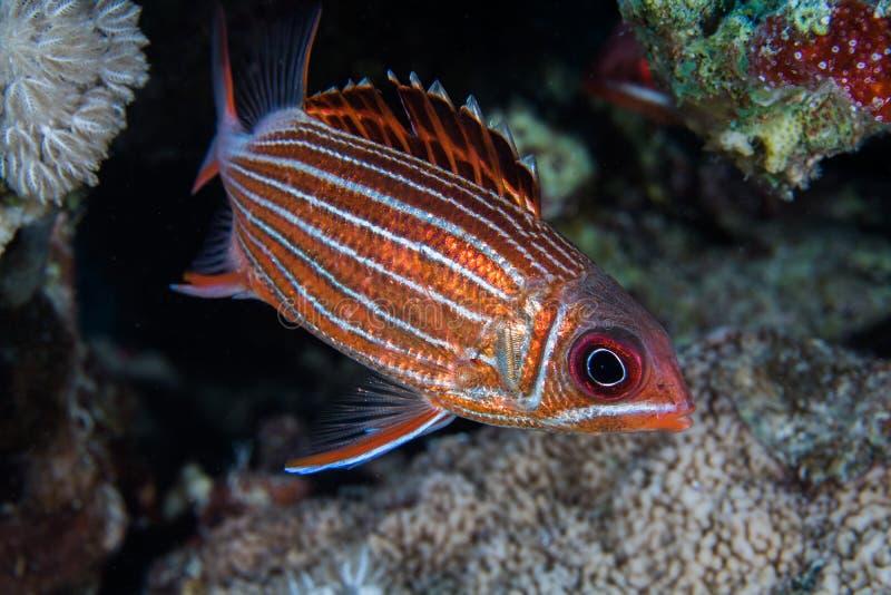 Korony squirrelfish Sargocentron diadema jaskrawa kruszcowa orange/czerwień barwił ryby obrazy stock
