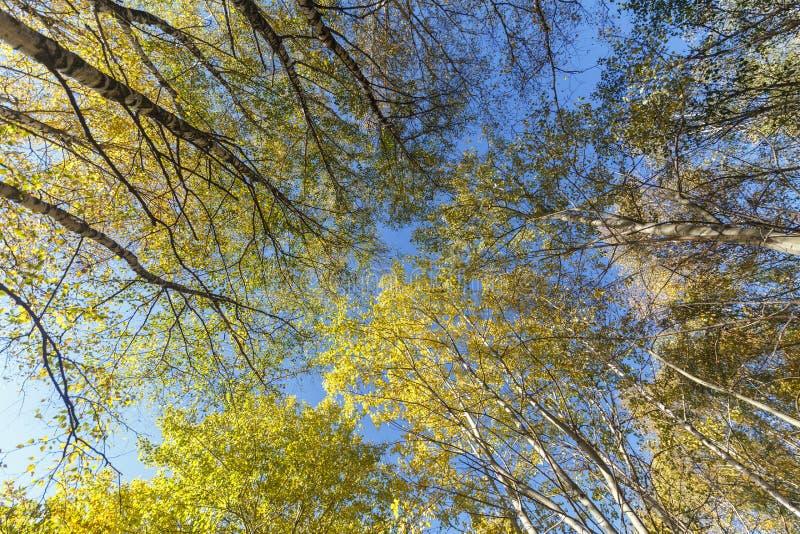 Korony wysokie brzozy na jesień słonecznym dniu jako tło lub tło Dolny widok fotografia stock