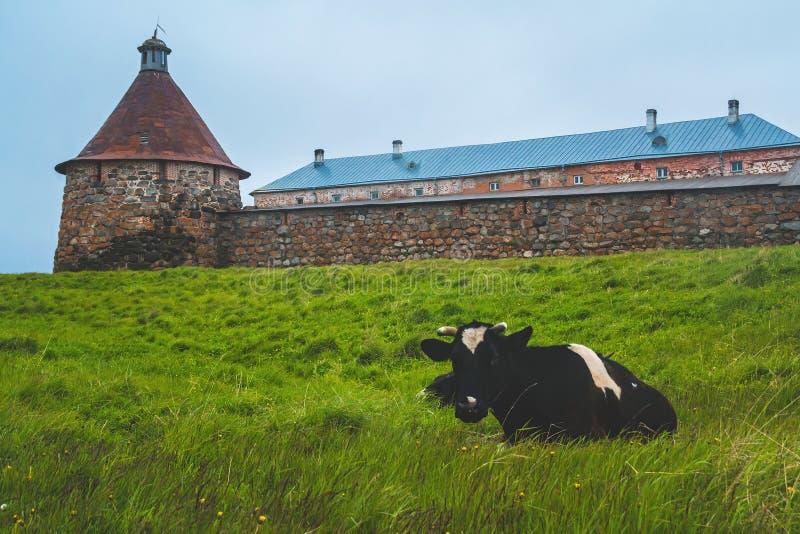 Korova na在北部海岛上的severnom ostroveCow 免版税库存图片