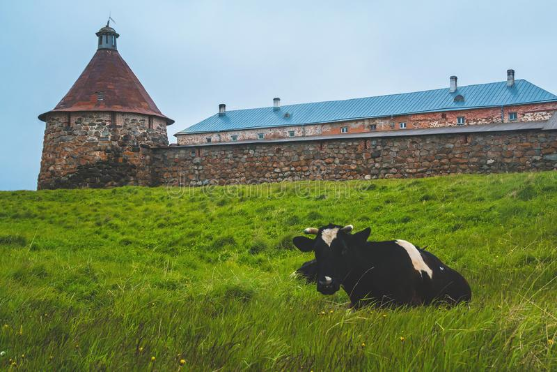 Korova Na-severnom ostroveCow auf der Nordinsel lizenzfreie stockbilder