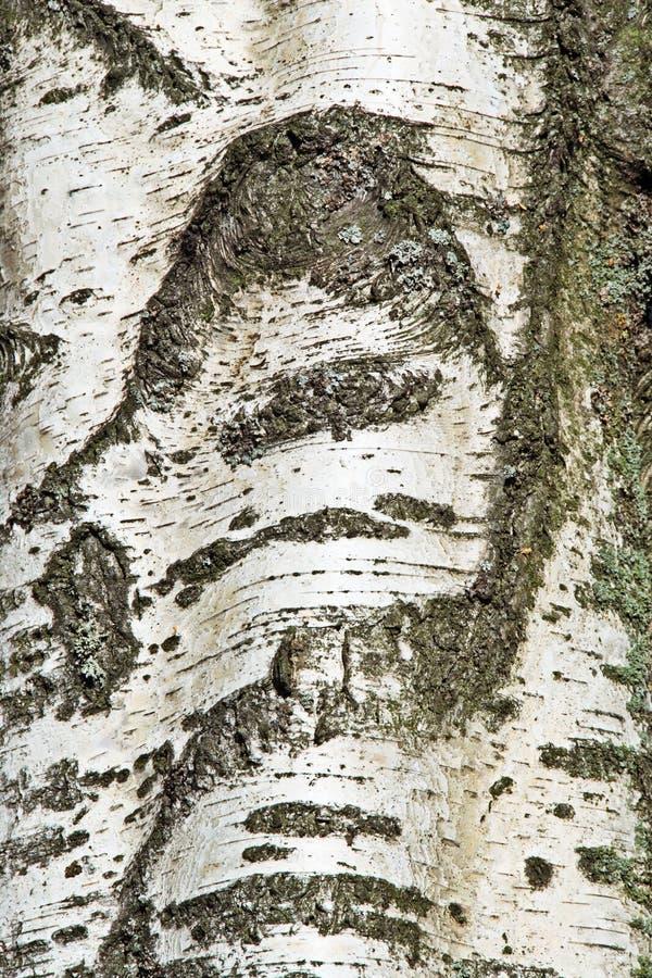 korowata birch zdjęcie stock