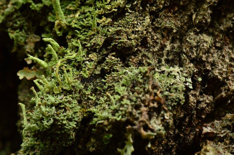 Korowata tekstura stary brzozy drzewo przerastający z liszajem z odcieniami koloru naturalny tło zdjęcie stock