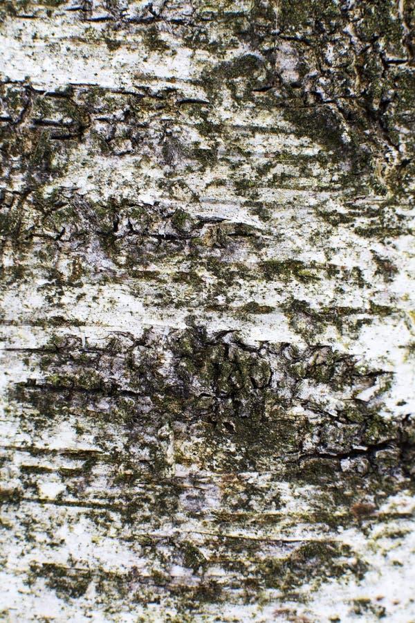 korowatej brzozy odosobniony biel obraz royalty free