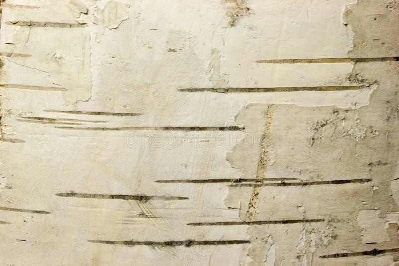 korowatej brzozy odosobniony biel obrazy royalty free