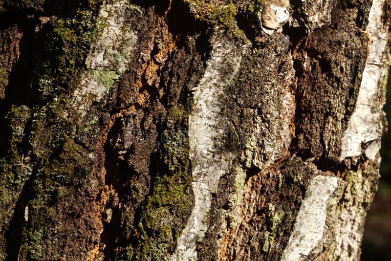 korowatej brzozy odosobniony biel Las obraz stock