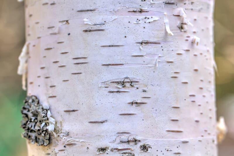 korowatej brzozy odosobniony biel Las zdjęcia stock