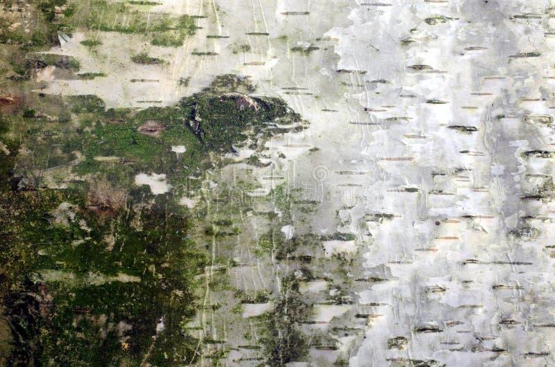 Korowaty brzozy tło obraz stock