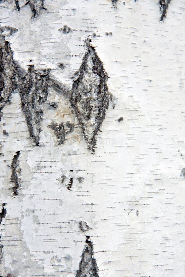 korowaty brzozy zbliżenia drzewo zdjęcie royalty free