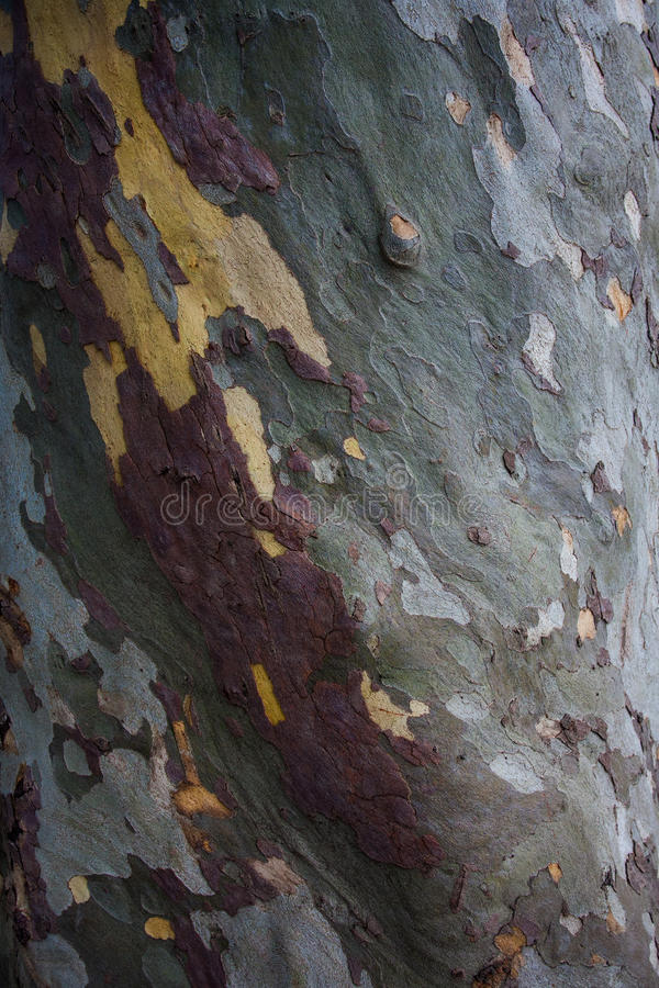korowaty platan drzewo zdjęcie royalty free