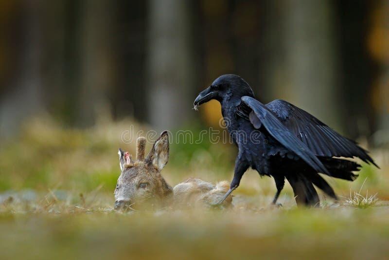 Korpsvart med den döda europén Roe Deer, kadaver i skogsvartfågeln med huvudet på skogvägen Djur behavir som matar royaltyfria foton