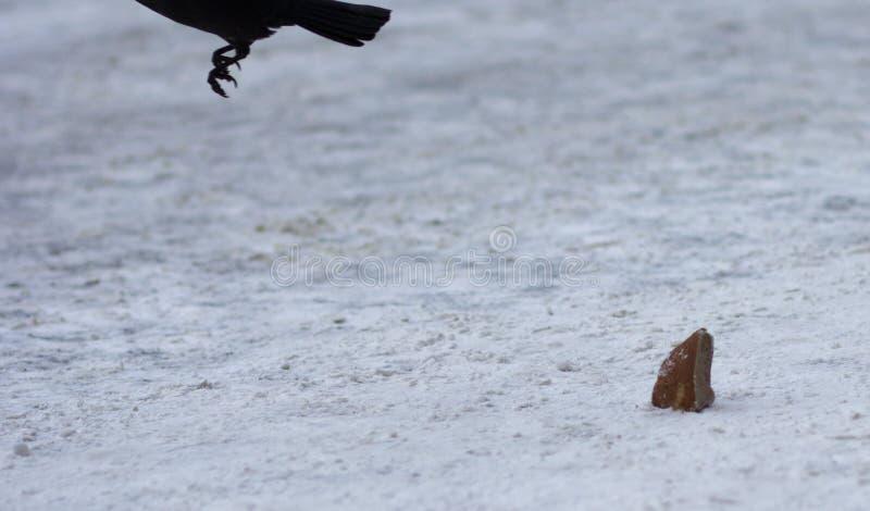 Korpsvart med stycket av bröd på snö arkivfoto