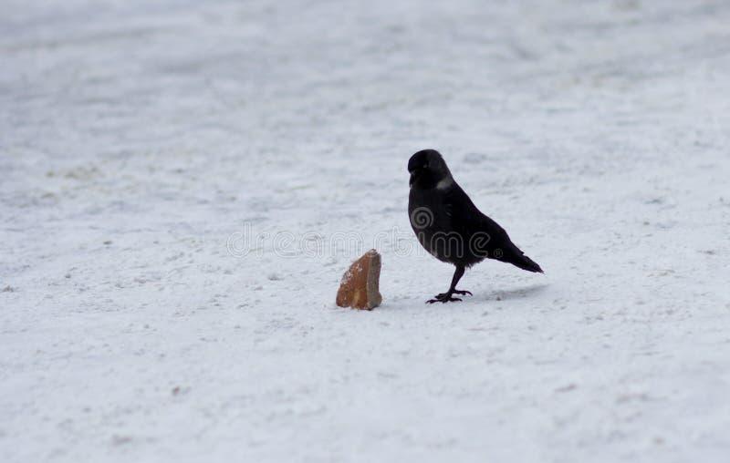 Korpsvart med stycket av bröd på snö arkivfoton