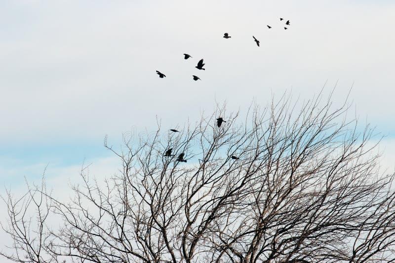 Korpsvart mullbärsträdträd arkivfoto