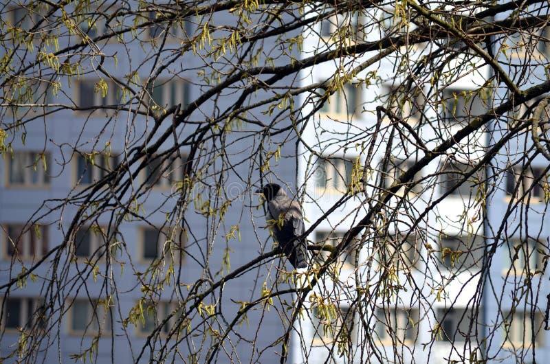 Korpsvart sammanträde på ett träd arkivbild