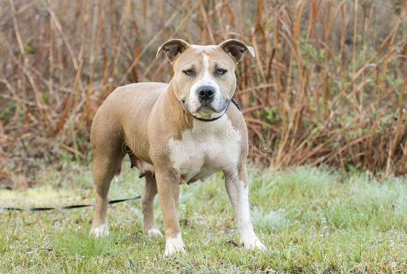 Korpulentny amerykanina Staffordshire Pitbull Terrier pies zdjęcia stock