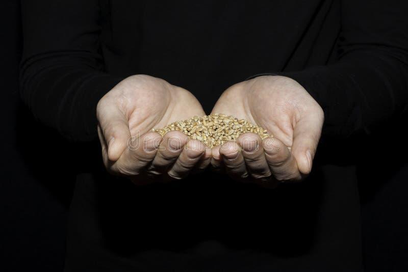 Korrel van tarwe in de hand van de man op de donkere achtergrond royalty-vrije stock afbeeldingen