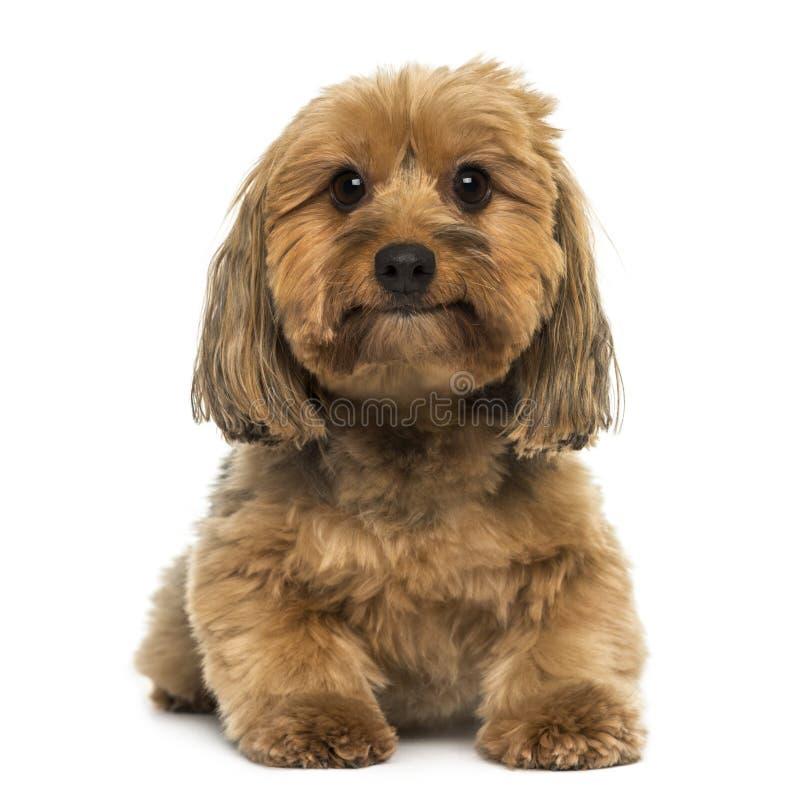 Korsa att ligga för hund som ser kameran arkivbilder