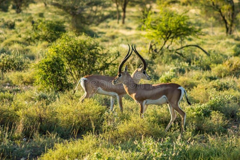 Korsa av två antilop arkivbilder