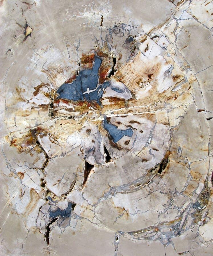 Korsa snittavsnittet av Fosillized trä royaltyfri foto