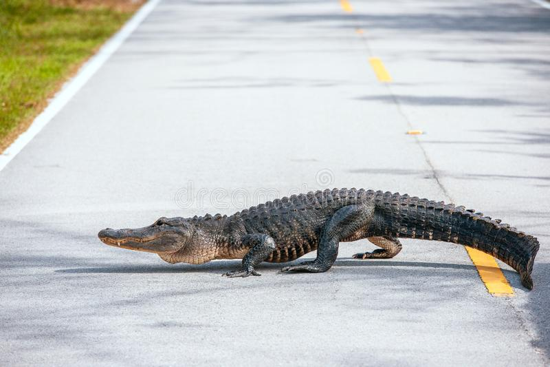 Korsning för amerikansk alligator en väg i Evergladesnationalpark Florida USA royaltyfri bild