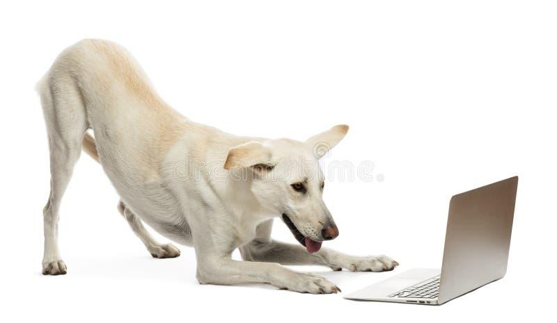 Korsninghund som ser bärbar dator royaltyfri fotografi
