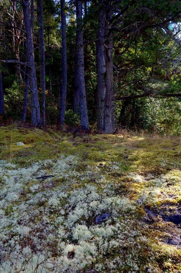 Korstmos en mos onder de Douglas Fir-bomen stock foto's