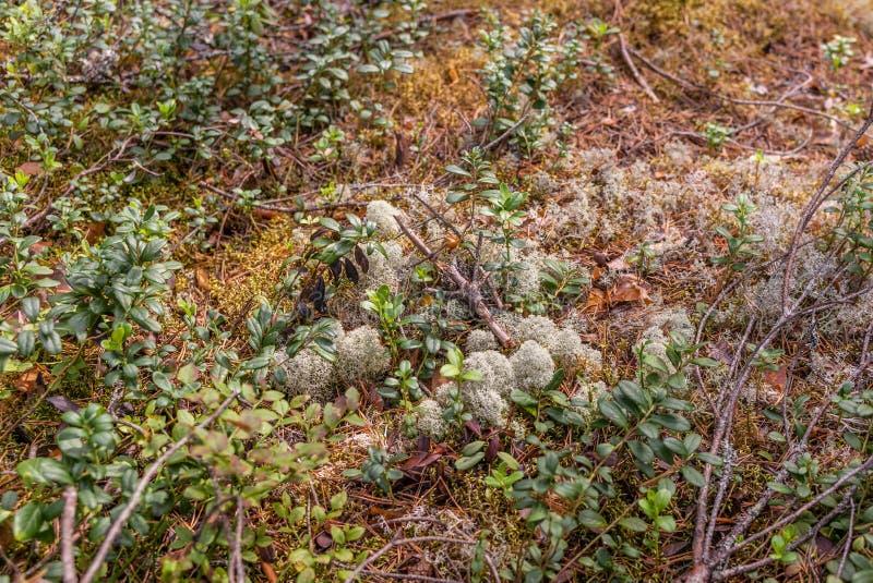 Korstmos, mos, bosbessen en ontbindend hout in Kolovesi N stock foto