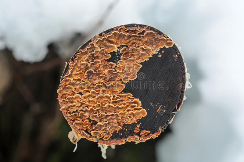 Korstmos op de boomstomp stock foto's