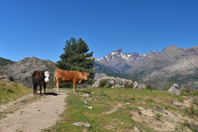 Korsykańskie krowy w przełęczu zdjęcie royalty free