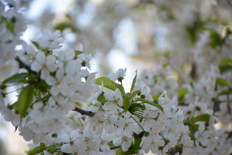 Kort för hälsning för blommor för körsbärsröda blomningar för vår härligt arkivfoto