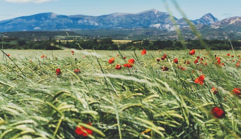 Kort med röda vallmoblommor och grönt kottevete på fält för bakgrundsnaturvår Baksida för lantligt landskap för sommarby suddig royaltyfri fotografi