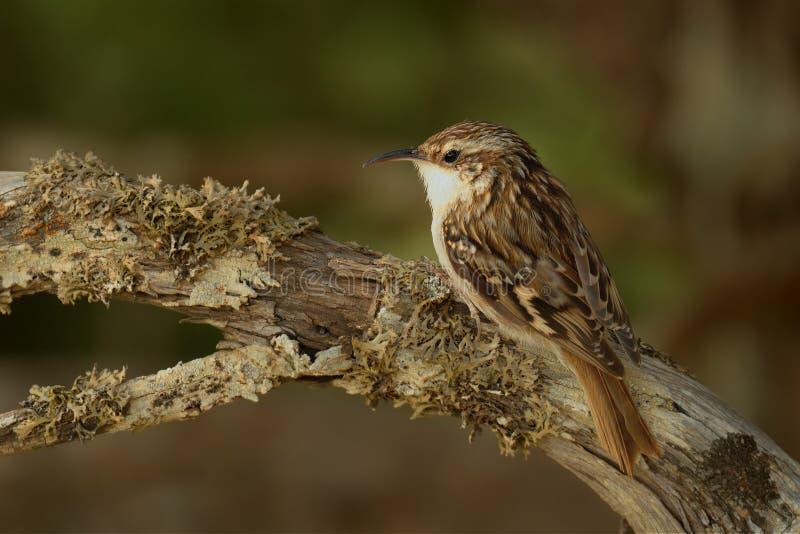 Kort-Toed brachydactyla van Treecreeper - Certhia- stock foto