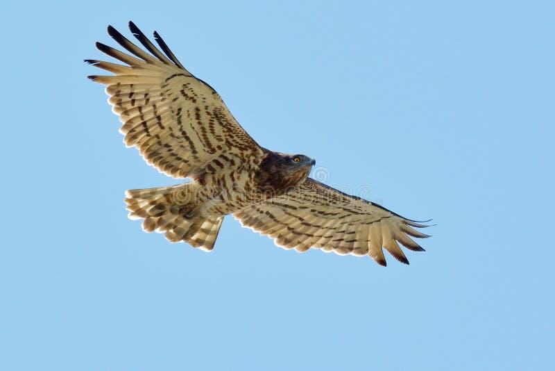 Kort-Toed Slang Eagle (Circaetus-gallicus) stock afbeeldingen