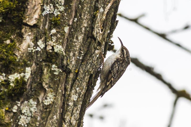 Kort-Toed treecreeper Certhia-brachydactyla royalty-vrije stock fotografie