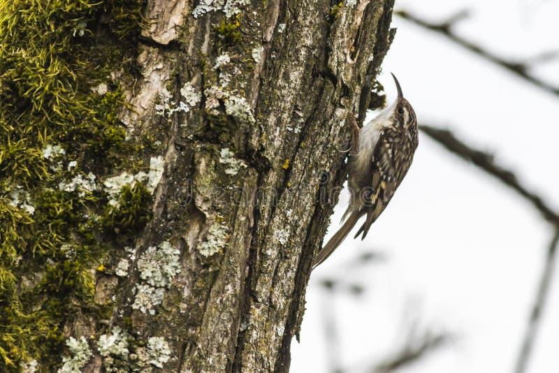 Kort-Toed treecreeper Certhia-brachydactyla royalty-vrije stock afbeeldingen