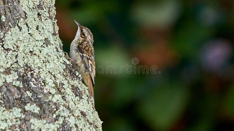 Kort-Toed treecreeper Certhia-brachydactyla stock fotografie